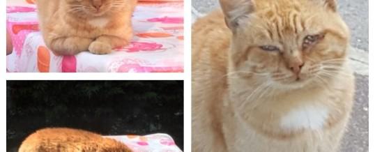 Gatto perso a Trenzano