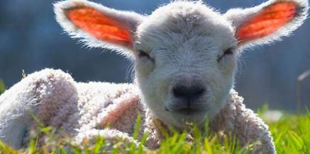 Contro la strage degli agnelli a Pasqua