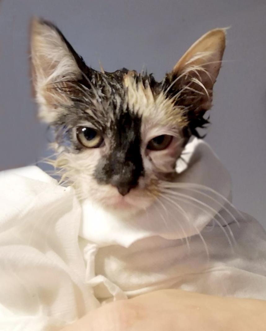 gattina-tricolore