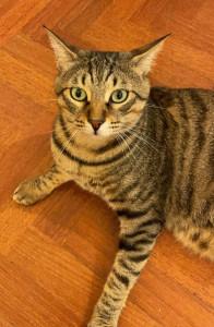gatto-da-adottare-1