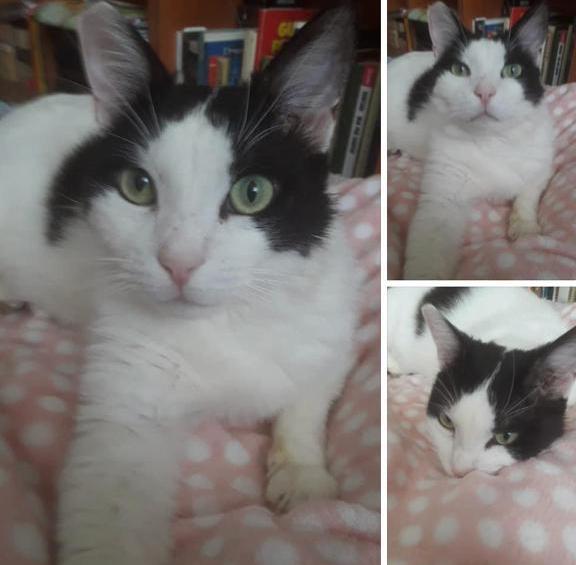 gatto-da-adottare